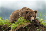 Resting Brown Bear, L. Clark National Park, AK