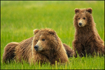 Alaska Brown Bear, female and one cub, Lake Clark National Park, AK