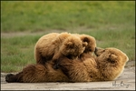 Brown Bear with Nursing Cubs, Lake Clark National Park, AK