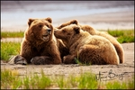 Alaska Brown Bear and Two Cubs, Lake Clark NP, AK