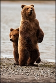 Brown Bear Cubs, One Standing, Lake Clark National Park, AK