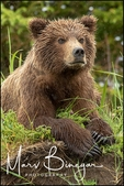 Alaska Brown Bear Closeup, Lake Clark National Park, AK