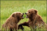 Alaska Brown Bear Cubs at Play, Lake Clark National Park, AK