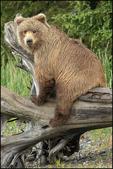 Alaska Brown Bear Perched on Log, Lake Clark National Park, AK