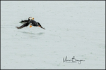 Horned Puffin in Flight, Lake Clark National Park, AK