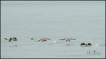 Four Horned Puffins in Flight, Lake Clark National Park, AK