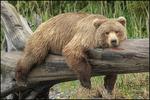 Alaska Brown Bear Lying on Log, Lake Clark National Park, AK