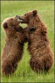 Wrestling Alaska Brown Bear Cubs, Lake Clark National Park. AK