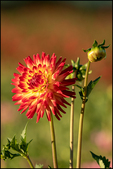 Red and Yellow Dahlia with Buds, Swan Island Dahlia Farm, Canby, OR