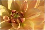 Sunny Yellow Dahlia Center, Swan Island Dahlia Farm, Canby, OR