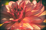 Warm Red-yellow Dahlia, Swan Island Dahlia Farm, Canby, OR