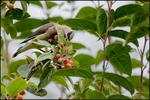 Cedar Waxwing in Crabapple Tree, Oregon City, OR