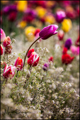 Tulips with baby's breath, Wooden Shoe Tulip Company, Woodburn, OR