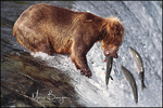 Brown Bear, Katmai National Park, AK