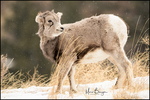 Bighorn Sheep Lamb, Absaroka Mountains, Wyoming