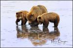 Alaska Brown Bear Mother and Cubs Searching for Clams, Lake Clark National Park, Alaska
