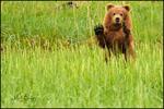 "Brown Bear Cub ""Waving"", Lake Clark National Park, AK"