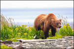Brown Bear Among Beach Flowers, McNeil River State Game Sanctuary and Refuge, AK