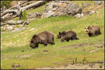 Grizzly Bear Mother with Two Cubs, Yellowstone National Park, WY