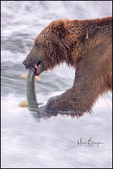 Brown Bear with Salmon, McNeil River State Game Sanctuary and Refuge, AK