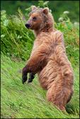 Standing Brown Bear, Lake Clark National Park, AK