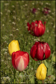 Red and Yellow Tulips, Wooden Shoe Tulip Farm, Woodburn, OR