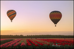 Hot Air Balloons over Tulip Field, Wooden Shoe Tulip Farm, Woodburn, OR