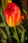 Red and Yellow Striped Tulip, Wooden Shoe Tulip Farm, Woodburn, OR