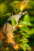 Cedar Waxwing Upside Down Dining on Crabapples, Oregon City, OR