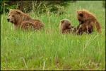 Brown Bear Family, Lake Clark National Park, AK