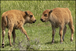 Bison Calves Meet, Yellowstone National Park, WY
