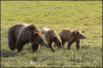 Grizzly Bear #399 and her Family, Grand Teton National Park, WY