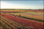 Morning Tulip Fields, Wooden Shoe Tulip Farm, Woodburn, OR
