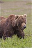 Male Brown Bear, Lake Clark National Park, AK