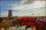 Dutch Windmill and Backlit Tulips, Wooden Shoe Tulip Farm, Woodburn, OR