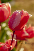 Tulips with Water Droplets, Wooden Shoe Tulip Farm, Woodburn, OR