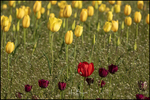 Red Tulip with Yellow Background, Wooden Shoe Tulip Farm, Woodburn, OR