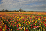 Diagonal Rows of Multicolored Tulips, Wooden Shoe Tulip Farm, Woodburn, OR