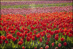 Red Tulip Field, Wooden Shoe Tulip Farm, Woodburn, OR