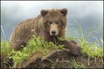 Brown Bear, Lake Clark National Park, AK