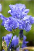 Blue Iris, Schreiner's Iris Gardens, Salem, OR
