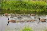 Two Families of Canada Geese, Ridgefield NWR, WA