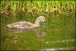 Swimming Canada Goose Gosling, Ridgefield NWR, WA