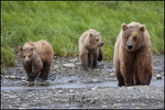 Brown Bear Family, McNeil River State Game Sanctuary and Refuge, AK