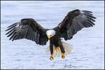 Landing Eagle, Alaska Chilkat Bald Eagle Preserve, Haines, AK