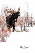 Bull Moose Surrounded by Winter Willows, Yellowstone National Park, WY