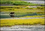 Kodiak Brown Bear, Kodiak Island, AK