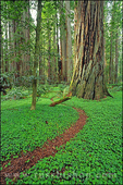 Trail through sorrel and old growth Redwoods in the Stout Grove