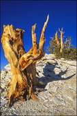 Ancient Bristlecone Pines in the Patriarch Grove, Ancient Bristlecone Pine Forest