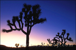 Silhouette of Joshua Trees against purple evening light